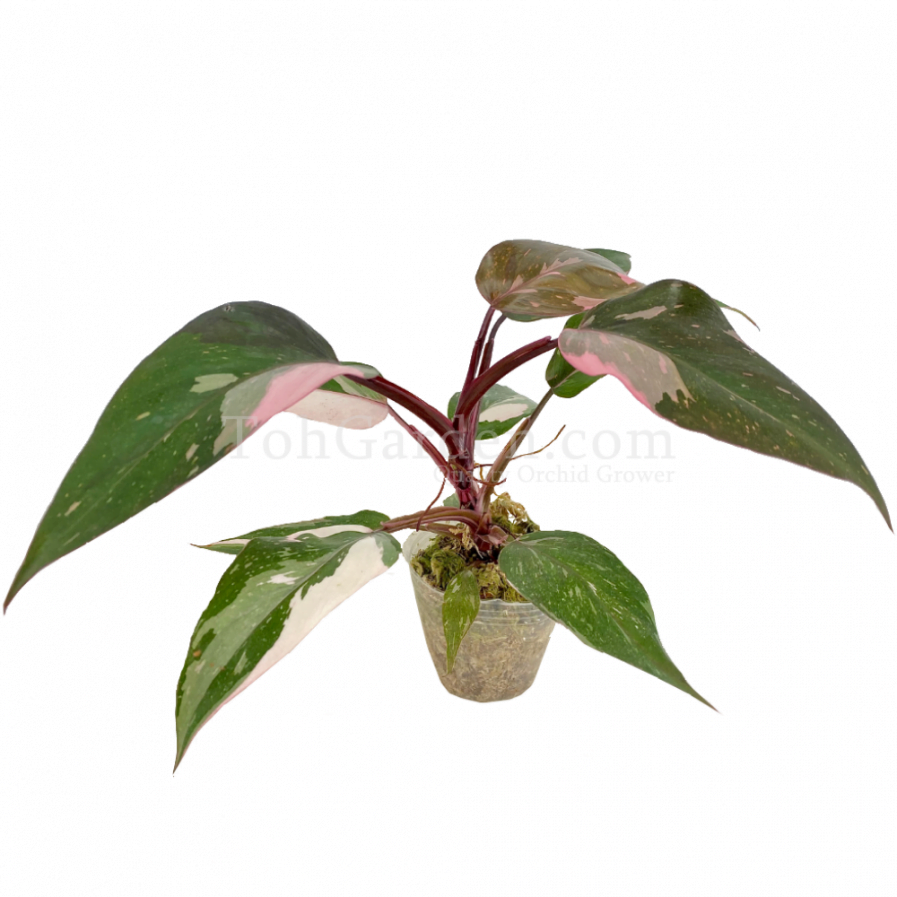 Philodendron Pink Princess