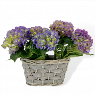 Hydrangea 'Blue'