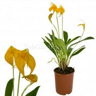 Masdevallia 'Yellow'