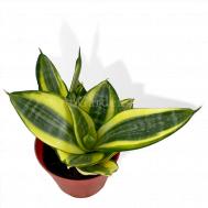 Sansevieria variegata