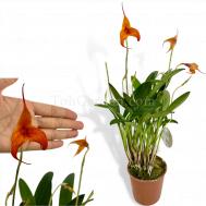 Masdevallia 'Orange'