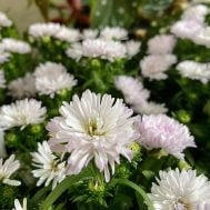 Asters Pretty Pink
