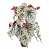 Begonia Looking Glass