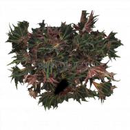 Begonia Magic Colours Breakdance