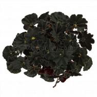 Begonia Magic Colours Dark Mambo