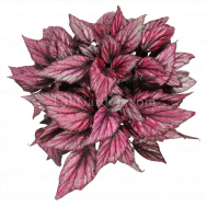 Begonia Magic Colours Hugh McLauchl