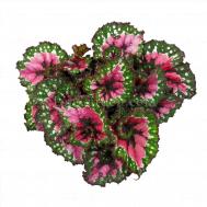 Begonia Magic Colours Macarena