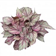 Begonia Magic Colours Merenque