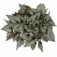 Begonia Magic Colours Rain Dance