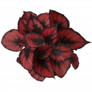 Begonia Magic Colours Red Kiss