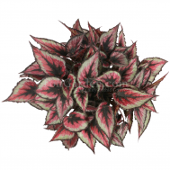 Begonia Magic Colours Red Tango
