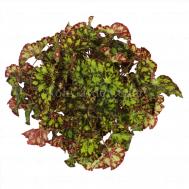 Begonia Magic Colours Rondeau