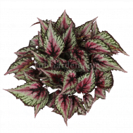Begonia Magic Colours Salsa