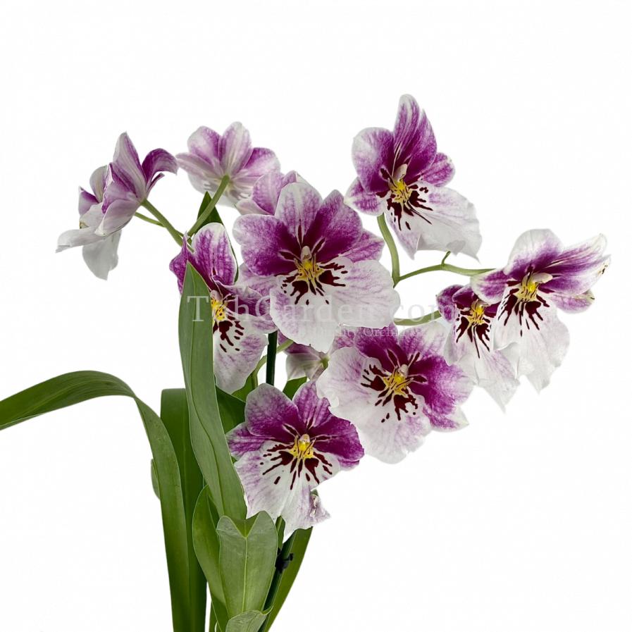 Bicolour Miltoniopsis hybrids (2 Spikes Large Flowers)
