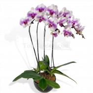 Pink One Blush Phalaenopsis Arrangement(4 in 1)