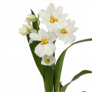 White Miltoniopsis