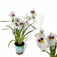 White Miltoniopsis hybrids (2 Spikes Large Flowers)