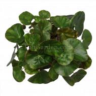 begonia Leaf erythrophyla
