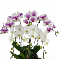 Phalaenopsis Bicolour (6 in 1)