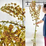 Grammatophyllum speciosum / Tiger Orchid (3 stems cutting)
