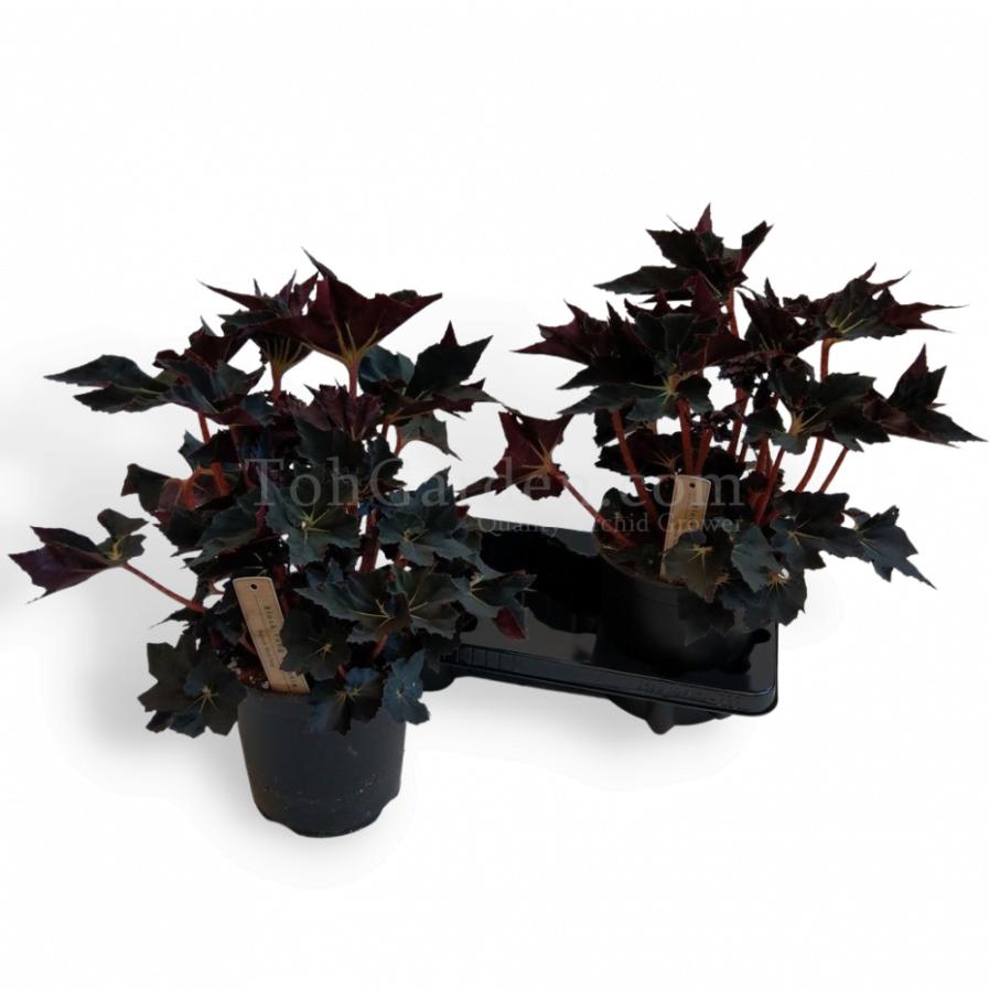 Begonia Black Fang