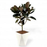 """Ficus elastica """"Burgundy"""""""