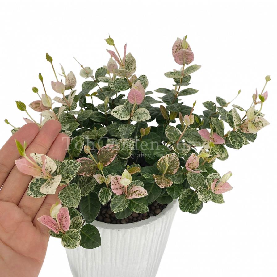 Trachelospermum Jasminoides Flame