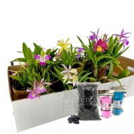 Mix Cattleya Bundle (Free fertilizers / Hardwood Charcoal)