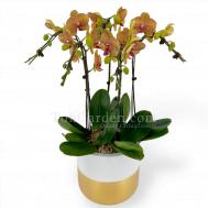 Christmas Phalaenopsis Goldarey (5 in 1)
