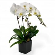 Phalaenopsis Arrangement 2.3