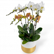 Phalaenopsis with Goldarey Fibreglass Pot (6 in 1)